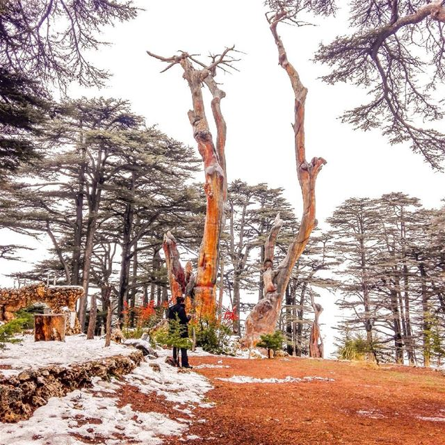 You will find me in the forest.🌲.... cedars  thecedarsoflebanon ... (The Cedars of Lebanon)