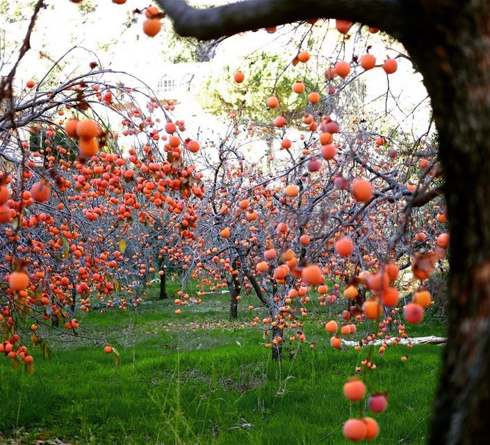 Kaki trees in North Lebanon 🇱🇧 •• kaki  persimmon  fruits ... (North Governorate)
