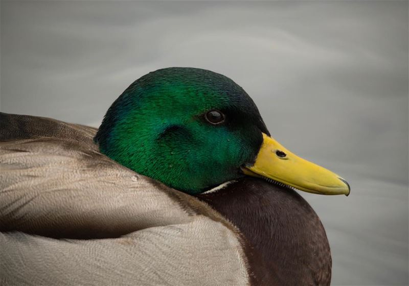 A portrait of Nature... closeup of a  mallard  duck  male  bird  wetlands ...