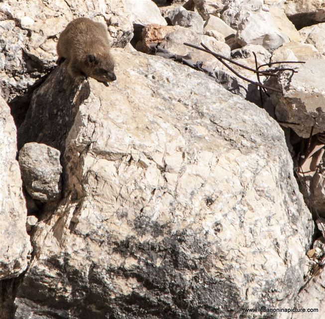 Tabsoun - طبسون or Rock Hyrax (Beaufort Castle, Lebanon)