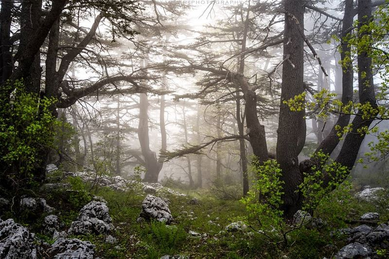Lost in the heart of the forest | Tannourine cedar reserve. Foggy... (Arz Tannoûrîne)