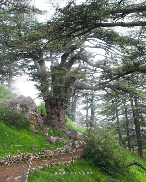 The Cedars of God • 🇱🇧 .....  beautifullebanon  livelovebeirut ... (The Cedars of Lebanon)