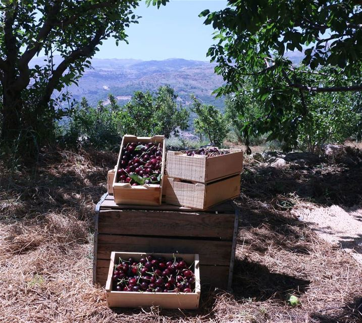 Cherry season has arrived to the mountains. Mount Lebanon gives you the... (Guita)