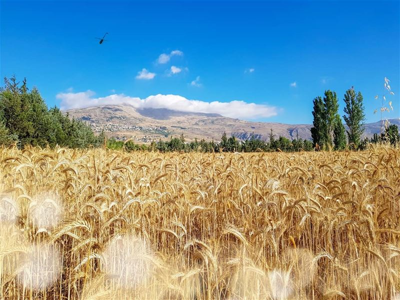 Don't say its wheat until you harvest it! 🌾 GoodMorning GoodVibesOnly... (Beqaa Governorate)