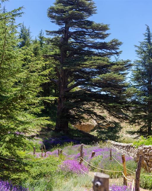 A beautiful day at the sunny  Cedars Forest in  Lebanon 🌺💯🌞🎉hope the... (El Arz, Liban-Nord, Lebanon)